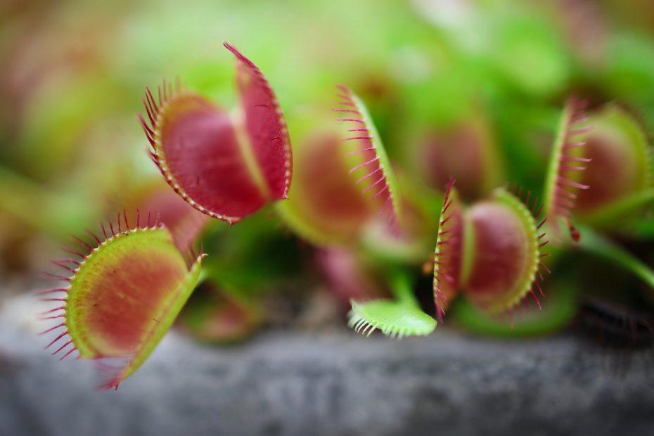 Venus Flytrap · Carnivorous Plant